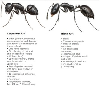 Carpenter-black-ant